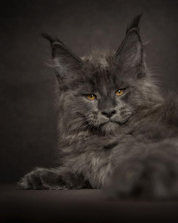 メインクーン画像!気品ある毛並みに威厳ある風貌の猫 (27)