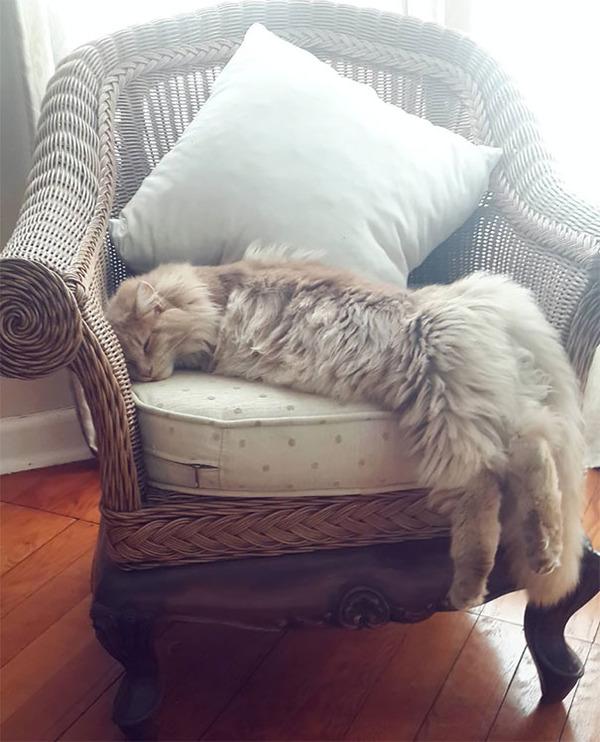 でかすぎる!大型のイエネコ長毛種メインクーン画像【猫】 (20)