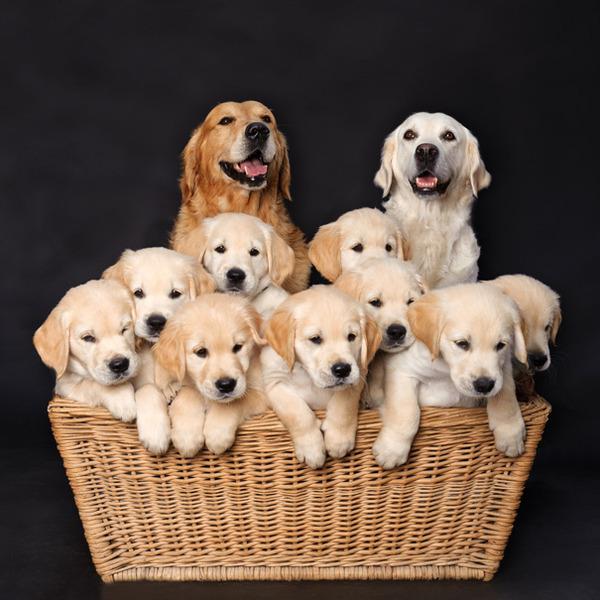 お母さん犬とその子犬達のソックリ集合写真!犬親子画像 (26)