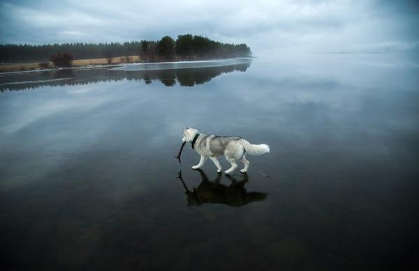 Siberian-Husky-On-A-Frozen-Lake