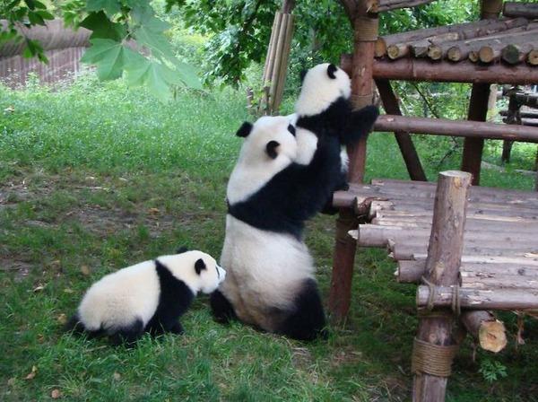 かわいいジャイアントパンダの画像 7