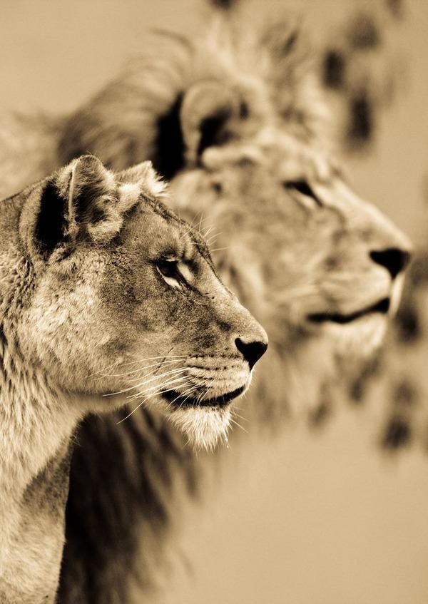 大型ネコ科!ライオン、ヒョウ、トラの美しいセピア写真 (11)