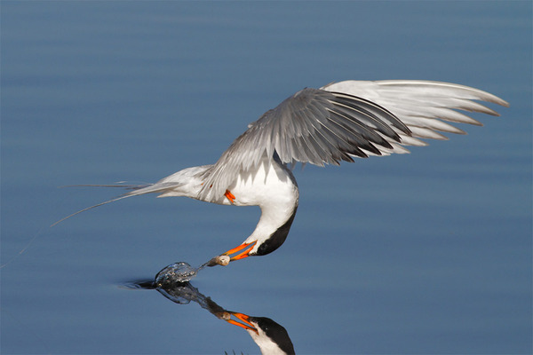 もう逃げられない…!鳥が魚をパックリ食べちゃう瞬間的画像 (6)