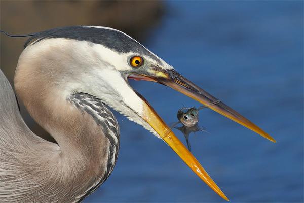 もう逃げられない…!鳥が魚をパックリ食べちゃう瞬間的画像 (4)