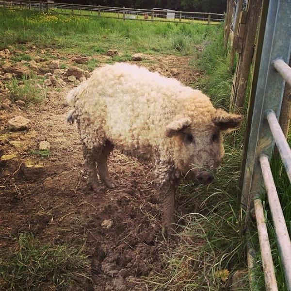 羊みたいな体毛を持った豚『マンガリッツァ』。モフモフ! (15)
