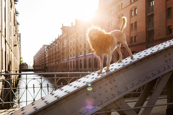 ライオン…の格好をしたわんこが街をさまよい歩く!【犬画像】 (9)