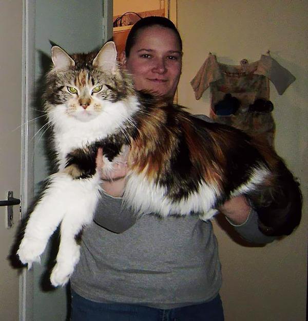 でかすぎる!大型のイエネコ長毛種メインクーン画像【猫】 (26)