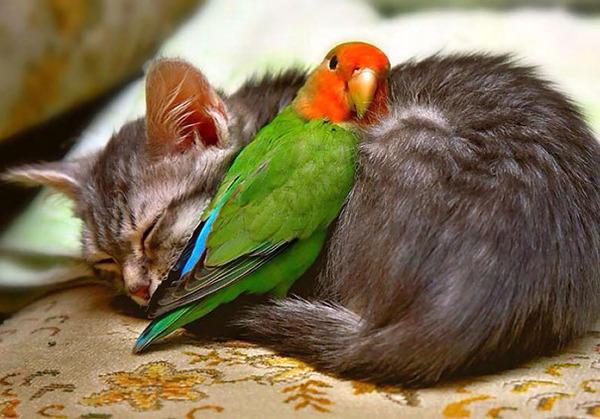猫とパラキートのお昼寝