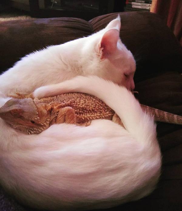 超仲良しなんだぜ!2匹は友達。ネコとフトアゴヒゲトカゲ (8)