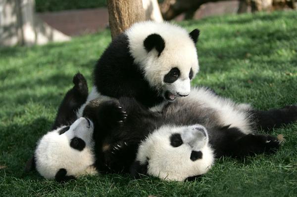 かわいいジャイアントパンダの画像 14