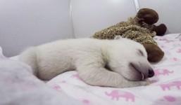 ホッキョググマの赤ちゃんが熟睡している動画