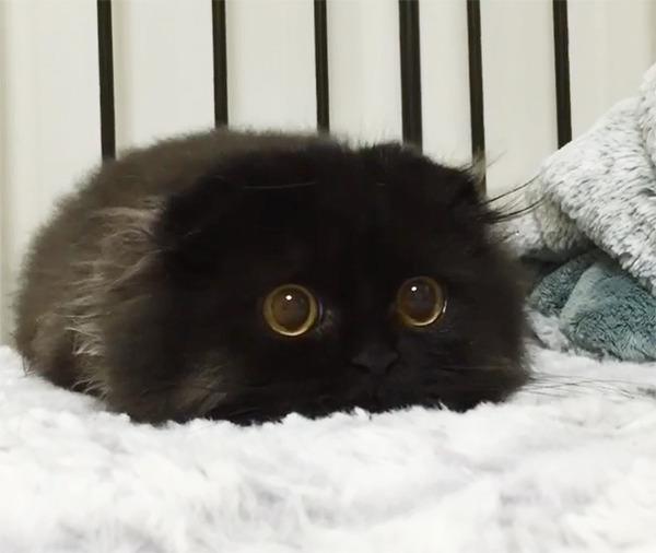 「まっくろくろすけ」みたいな黒猫画像!黒いモフモフ (8)