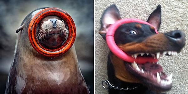 アザラシって犬そっくりじゃね?犬とアザラシを比較画像! (14)