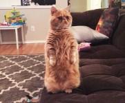 進化した猫?二本足で直立する人間猫、ジョージ!