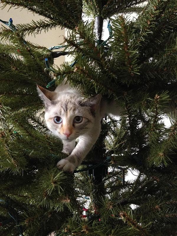猫、あらぶる!クリスマスツリーに登る猫画像 (4)