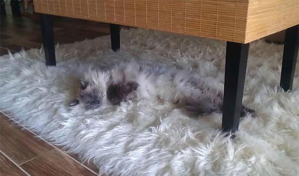 綿菓子フワフワ!モフモフしたくなる長毛種の猫画像 (27)