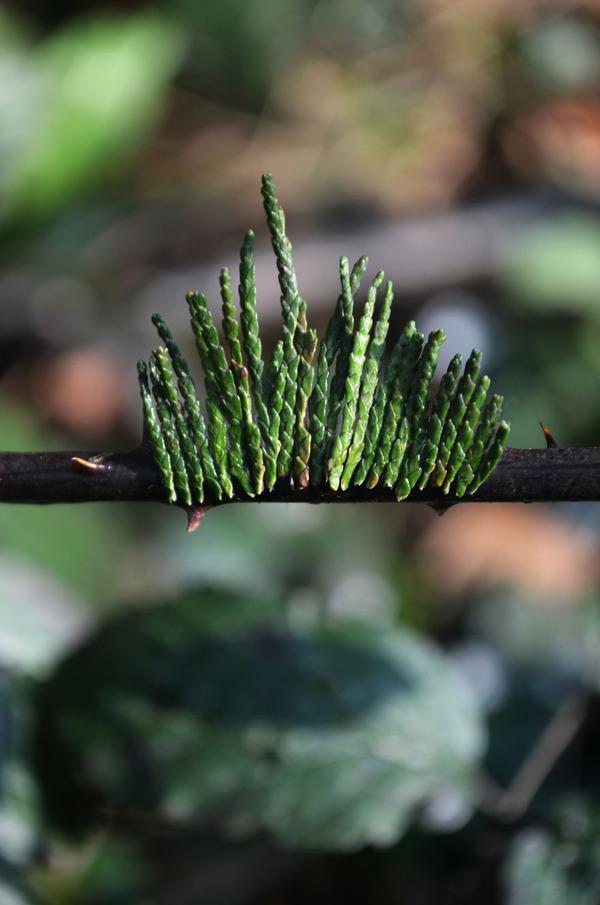 100%自然素材!植物から作られた『ナチュラルつけまつげ』 (5)