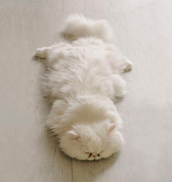 綿菓子フワフワ!モフモフしたくなる長毛種の猫画像 (20)