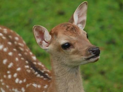 奈良の鹿可愛すぎやろ (※画像あり)