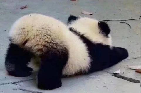 【画像】小パンダのおしり、可愛いwwwwwwwwwwwww