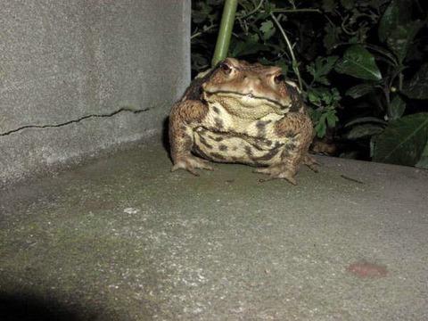 【画像】めっちょでかいカエルが玄関の前にいて草www