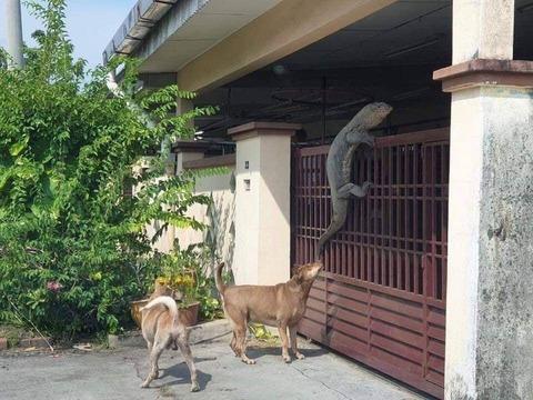 【画像】フィリピン人「家のフェンスにコモドドラゴンが登って来たwwwwwww」