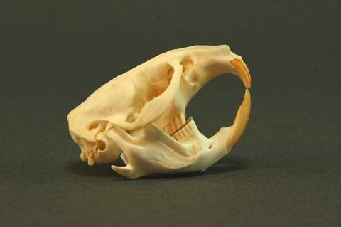 ネズミの頭蓋骨ヤバすぎwwwwwwwwwwwwwwwwwwwwwwwwwwwwwwwwwwwwwwwww