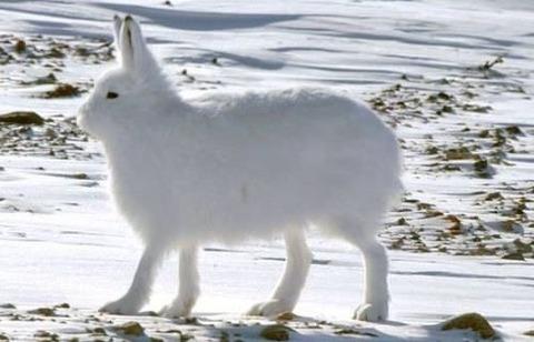 【画像】北極のウサギ、脚が長すぎるwwwwwwwwwwww