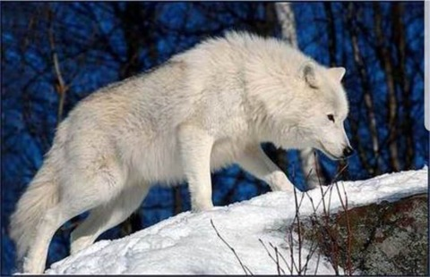 オオカミってなんであんな綺麗なんだろうな (※画像あり)