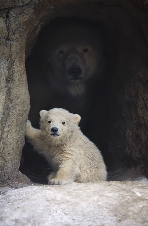 【画像】白熊の赤ちゃんかわいすぎワロタwwww