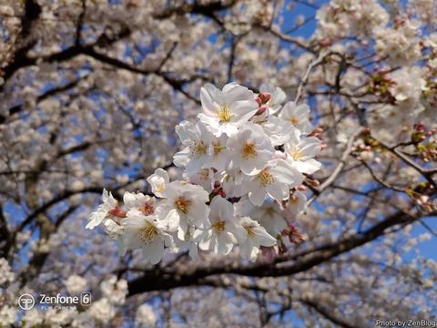 ZenFone 6で撮影 桜002
