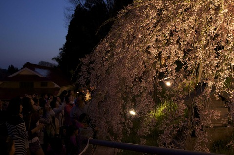 触れ合い夜桜