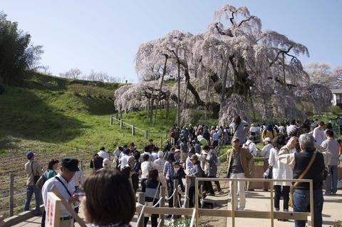 街の人と滝桜