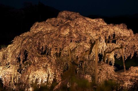 バンと夜桜