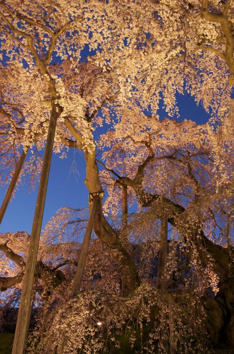 立てブルー夜桜