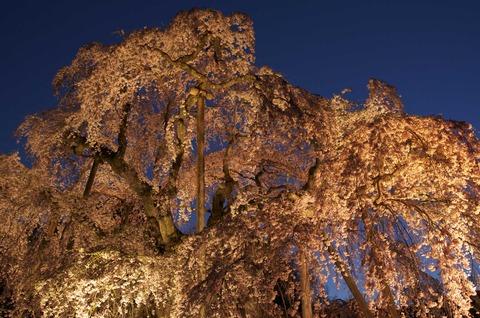 見上げの夜桜1