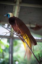 Paradisaea_apoda_(male)_-KL_Bird_Park-8a