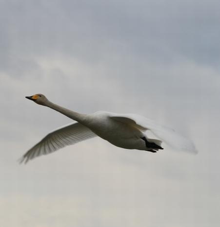 「白鳥よ、大空へ!!!」