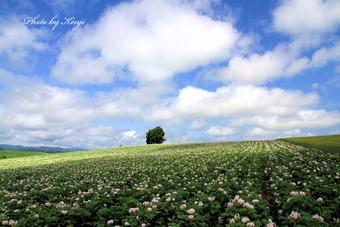 じゃがいもの花咲く丘