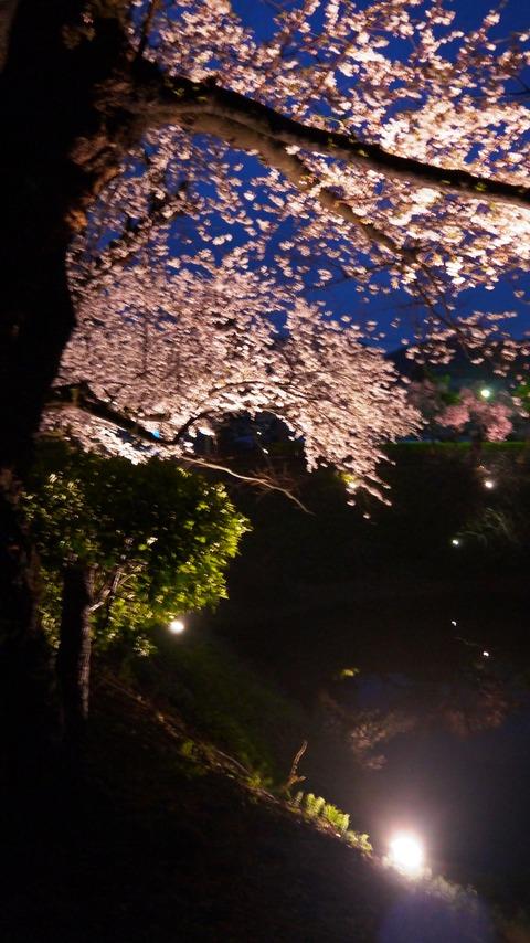 鶴ヶ城(夜桜)14
