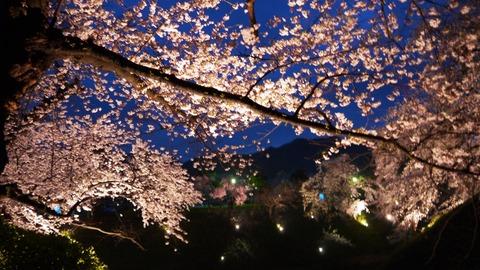 鶴ヶ城(夜桜)13