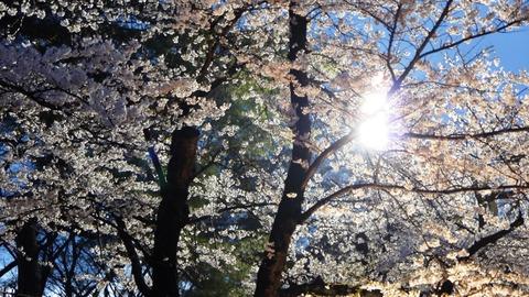 鶴ヶ城(夜桜)9