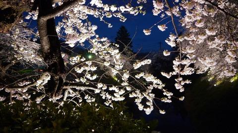 鶴ヶ城(夜桜)16