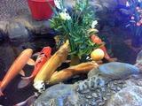 店内の池を泳ぐ鯉2