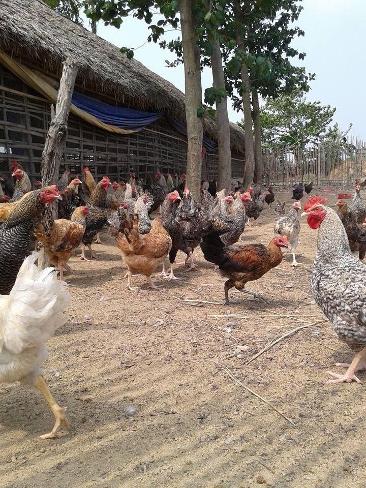ネパール養鶏画像