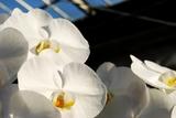 朝の直射日光を浴びる胡蝶蘭