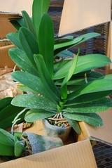 胡蝶蘭の苗4