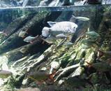アマゾンの魚
