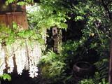 坪庭の白藤も見事です