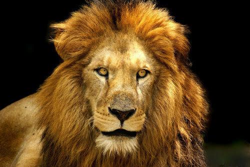 【画像あり】1万年前のライオンが冷凍状態で発見!!!!